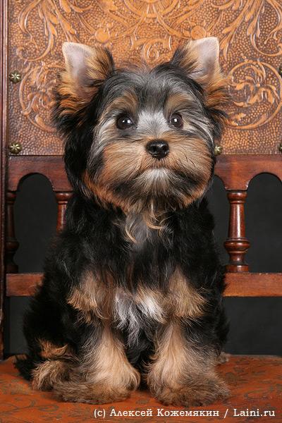 Уход за йорками щенками в домашних условиях